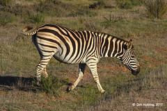 Burchell's Zebra 117917gb (Dirk Huitzing) Tags: burchellszebra equusburchelli