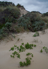 Tetragonia decumbens, Mindalong Beach, Bunbury, WA, 30/10/16 (Russell Cumming) Tags: plant weed tetragonia tetragoniadecumbens aizoaceae mindalongbeach bunbury westernaustralia
