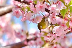 DSCF2677t (naofumitaguchi) Tags: fujifilm xm1 tokyo japan bird メジロ 富士フイルム naofumitaguchi sakura 日本 東京 桜 outdoor 河津桜 カワヅザクラ cherry blossom plant tree pastel mejiro japanese whiteeye flower macro