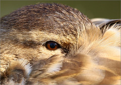 Cane (berthou.patrick) Tags: les grenouilles rousses