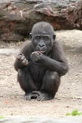 03-12-2016-taronga 478 (tdierikx) Tags: 03122016taronga taronga tdierikx gorilla tarongazoo fabumi