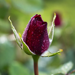 red rose (** RCB **) Tags: rose red rouge flower drops rain springtime 2017 2017097 365
