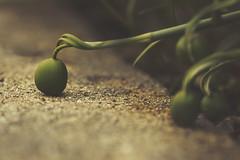 Reaching Out (charhedman - on and off) Tags: idontknowwhatthesearebutmustbesomekindofbuds theywereinaneighboursyardreachingoverthewall illcheckinafewdaysanditmightbeaflower theseareverytiny green bud macro