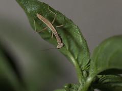 hey little guy! (rp85364) Tags: mantis praying prayingmantis macro insect bug stack tamron 90mm predator nature garden