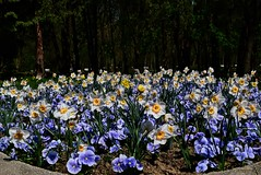 DSC_0033 (Me now0) Tags: spring park europe nikond5300 1855mmf3556 basiclens afternoon пролет никонд5300 китовобектив софиябългарияевропа юженпарк daffodils нарцис