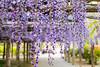 DSC_1630 (sayo-tsu) Tags: 藤 wisteria 牛島のフジ 春日部市 埼玉県 kasukabe saitama 特別天然記念物