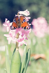 ©366 Butterfly (Aglais io) in love with Hyacinth EyeEm Nature Lover Springtime I LOVE PHOTOGRAPHY EyeEm Wanderlust The Week Of Eyeem EyeEm Gallery First Eyeem Photo Hello World Showcase April Simple Quiet Love Nature Photography Flowers,Plants & (youbooth.de) Tags: butterfly hyacinth eyeemnaturelover springtime ilovephotography eyeem wanderlust theweekofeyeem eyeemgallery firsteyeemphoto helloworld showcaseapril simplequietlove naturephotography flowers plantsgarden insect macrophotography exceptionalphotographs eyeemdiversity takingphotos eyeemmasterclass butterflyinsect checkthisout insectpaparazzi flower