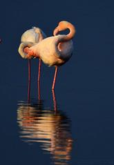 Luce radente (swaily ◘ Claudio Parente) Tags: flamingos maremma orbetello fenicotteri nikon nikond500 swaily claudioparente