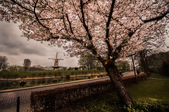 cherry blossom (bjdewagenaar) Tags: cherryblossom blossom tree windmill urban street clouds sony sonya58 sonyalpha sigma wideangle gorinchem gorcum holland dutch lightroom raw