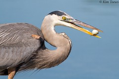 Great Blue Heron (Ardea herodias) with prey (Kim Toews Photography) Tags: canon400mmf56 blue gray grey greyishblue outdoor nature wildlife wader animal bird heron greatblueheron ardeaherodias pufferfish shoreline water puffer balloonfish