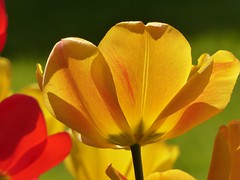 Tulip in the sun   EXPLORE # 19.04.2017 (libra1054) Tags: tulpen tulips tulipani tulipanes tulipes túlipas giallo gelb yellow amarillo jaune amarelo blumen flores fiori flowers fleurs flora closeup outdoor