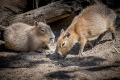 Young Capybara (helenehoffman) Tags: cabybara conservationstatusleastconcern rodent mammal sandiegozoo hydrochoerushydrochaeris southamerica rodentia animal