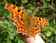 Comma (Peanut1371) Tags: comma insect butterfly butterflie orange finger nationalgeographicwildlife