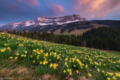 Daffodil - Schangnau (Captures.ch) Tags: black blue brown clouds color daffodil dusk emmental evening flower flowers gray hohgant landscape light mountains nature orange red schangnau sky snow spring sunset swiss switzerland trees white yellow