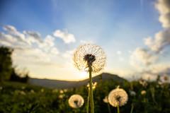 Make a wish... (raffaella.rinaldi) Tags: nature naturelover dandelion wish sun light green blue nopeople clouds flower