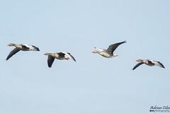 Geese (Drinu C) Tags: adrianciliaphotography sony dsc rx10iii rx10 mk3 nature bird birds goose wild wildlife animals animal