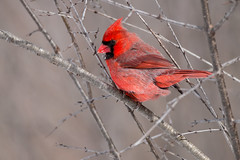 Northern Cardinal (m) img_8823 (NicoleW0000) Tags: red northern cardinal songbird bird photography nature outdoors