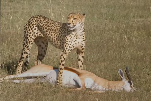 Cheetah female , with full grown Sprinbok prey, Kgalagadi National Park,1222