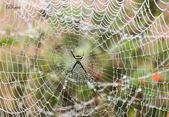 spider web (Dr.Bhattu) Tags: spider web droplets water mist rainny rain drbhattu wildlife photography nature hyderabad telangana visakhapatnam vizag agency lambasingi ngc andhra pradesh india