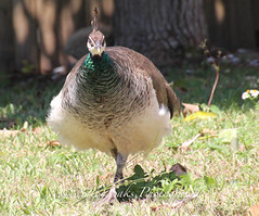 IMG_4217gray copy (Sally Knox Sakshaug) Tags: peacock florida pretty beauty bird feathers walk proud closeup sun bright colors color blue turquoise wild nature female hen peahen