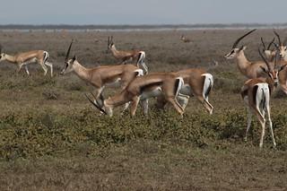 IMG_5052a - Thomson's Gazelle (Eudorcas thomsonii), Ndutu to Serengeti, Tanzania - between GPS 389-390