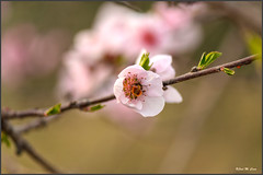 Flor de melocotonero con invitado (Jose Manuel Cano) Tags: flor flower melocotonero abeja bee nikond5100 color colour