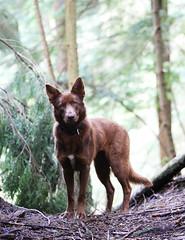 Pika (Shauna Ullman) Tags: rescuedog bigandsmallrescue pika northshoredog northshoretraildog traildog australiankelpie kelpie whatkindofdogisthis