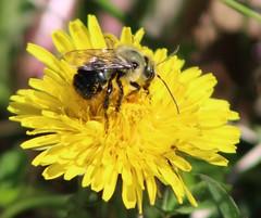 A bug's life (anneescott) Tags: bee bug dandelion flower 52weeksthe2017edition abugslife savethebees