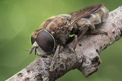 Hoverfly (Eumerus cf strigatus) (Miron Karlinsky) Tags: