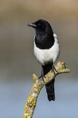 Magpie (Bill Richmond) Tags: magpie picapica corvidae nikond810