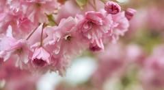 Pink Cherry Blossoms (Aadilos) Tags: pink cherry blossoms d5200 nikon pentacon135mm28 flower bloemen blossom flowers