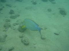 Hanauma-15 (jebigler) Tags: oahu hawaii2017 hanaumabay yellowfinsurgeonfish unitedstates hawaii honolulu 7455kalanianaolehighway