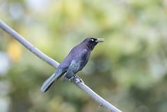 Colombia. (richard.mcmanus.) Tags: mcmanus wildlife caribgrackle grackle animal bird rainforest southamerica colombia