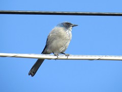 Woodhouse's Scrub Jay (ws.barbour) Tags: animal bird jay scrubjay woodhousesscrubjay