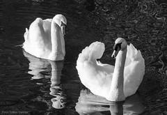 Flotilla (Tobias Dander) Tags: tobiasdander bnw swan swans flotilla parade water black white blackandwhite