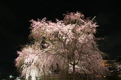 IMG_6402 Maruyama Koen (drayy) Tags: kyoto japan gion temple kiyomizudera maruyamakoen park sakura cherryblossoms 日本 京都 清水寺 円山公園 花見 桜