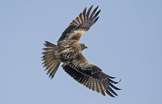 Kite (Wild) - The most beautiful Raptor in the world?
