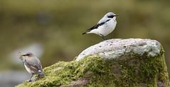 That time of year (nick edge) Tags: wheater llynyfan breconbeacons wales wildlife wildlifephotography bird birdphotography britishbirds migrant upland pair nature naturephotography