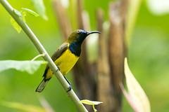 20170225-7D2_9949 (shutterblades) Tags: birds canon100400lmkii canon7d2 mandaizoo olivebackedsunbird riversafari singaporezoo