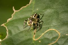 Coney Island Hungry Spider (thecrapone) Tags: prey predator singapore cony island nature wildlife spider fly flies