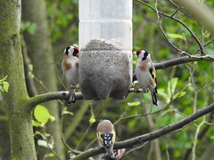 Four Goldfinches at Seed Feeder - Druridge Ponds (Gilli8888) Tags: northumberland birds druridge druridgeponds waterbirds water lake finches goldfinch countryside nature colour smallbirds four nikon p900 coolpix