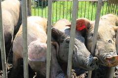 IMG_4947 (pockethifi) Tags: ไร่ปลูกรัก หมู pig