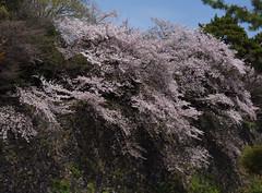 Cherry blossoms hanging over a moat (takashimuramatsu) Tags: cherry blossom nagoya castle moat hanging さくら 桜 サクラ 名古屋城 堀 お堀 nikon d810