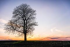 Solitary tree (net.furion) Tags: sony a7rii sel35f28z ilce tree sunset light sun solitary sky yellow ngc za