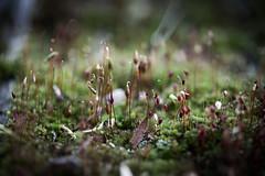 EL BOSQUE DE LO PEQUEÑO (ERREACHE) Tags: briofitas capsulasdeesporas esporangios macro musgo moss