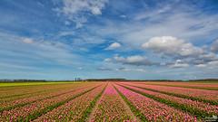 The tulip season has begun (BraCom (Bram)) Tags: bracom tulpen tulips bloom bloeien field veld cloud wolk sky spring lente seizoen season flowers bloemen trees bomen farm boerderij landscape landschap dirksland goereeoverflakkee zuidholland nederland southholland netherlands holland canoneos5dmkiii widescreen canon 169 canonef24105mm bramvanbroekhoven nl