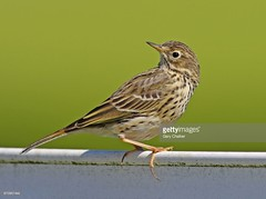 Meadow Pipit (Gary Chalker, Thanks for over 2,000,000. views) Tags: meadowpipit pipit bird k5 pentax pentaxk5 pentaxfa600mmf4edif fa600mmf4edif