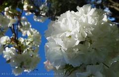 409. SAKURA: Nites In White Satin (www.YouTube.com/PhotographyPassions) Tags: sakura blossom spring springtime blooms buds petals white whitesakura cherryblossoms cherryblossomtrees trees shrub flora mlpphflora