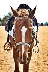 Horse (samalaaravind) Tags: horse india chennai marinabeach