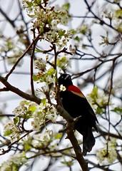 Red-winged Blackbird in Hawthorn Tree (TAVE77) Tags: garden birds avian newyork longisland conservation spring nature redwingedblackbird blackbirds floweringtrees hawthorntree